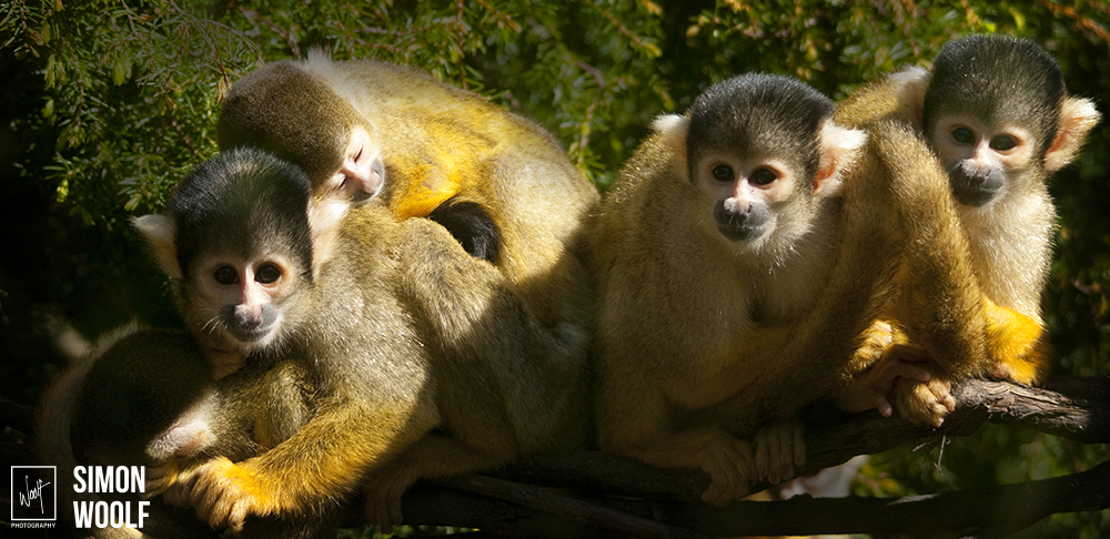 Squirrel Monkey's_6D32795.jpg