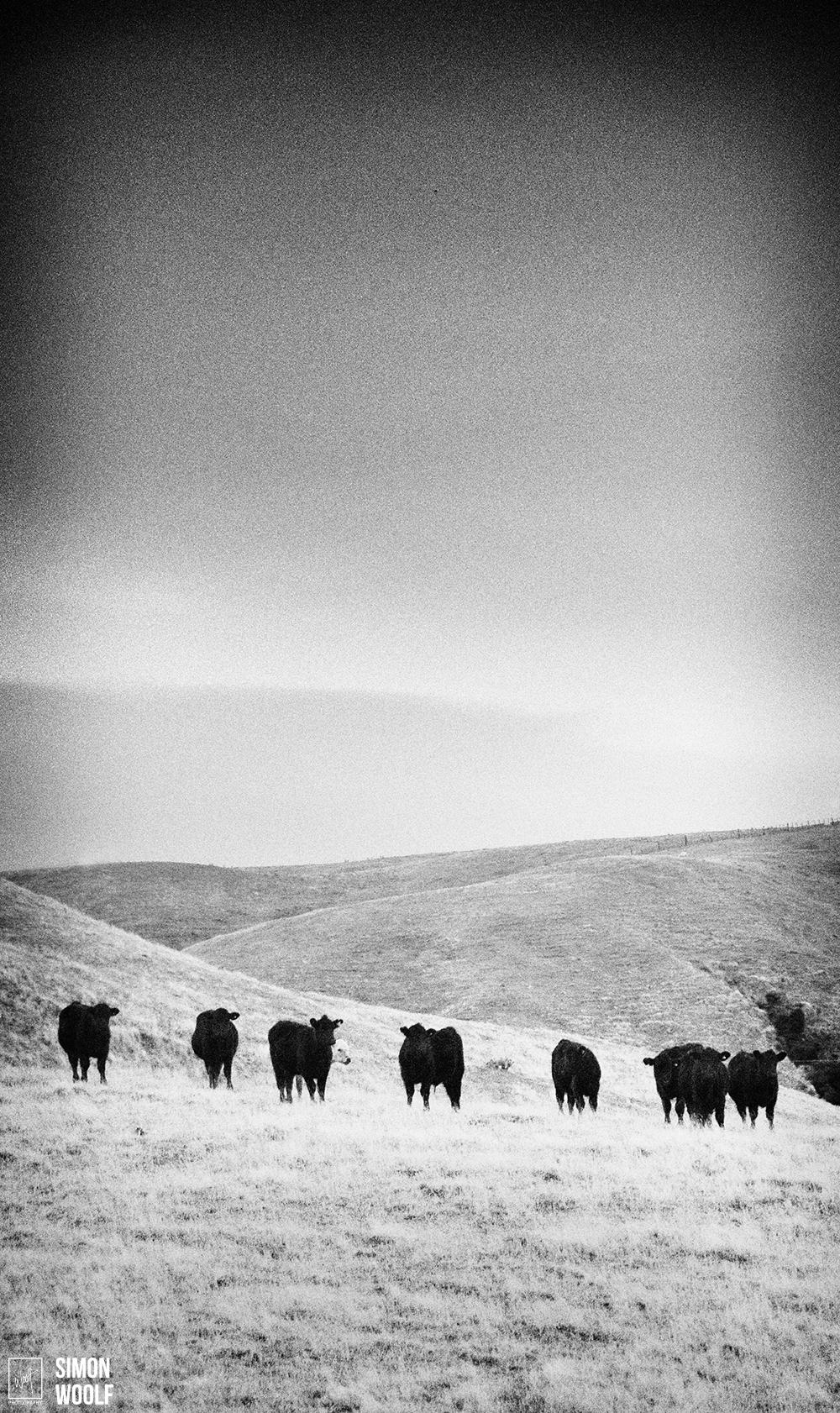 Staring Cows 2.jpg