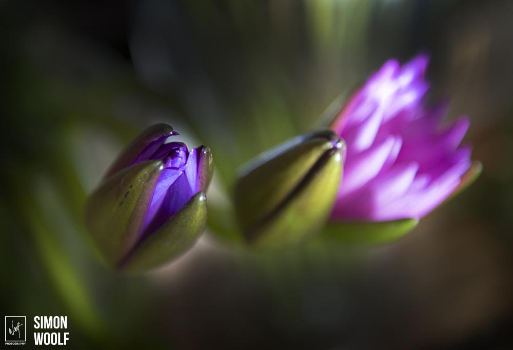 Water Lilies_PWB2760.jpg