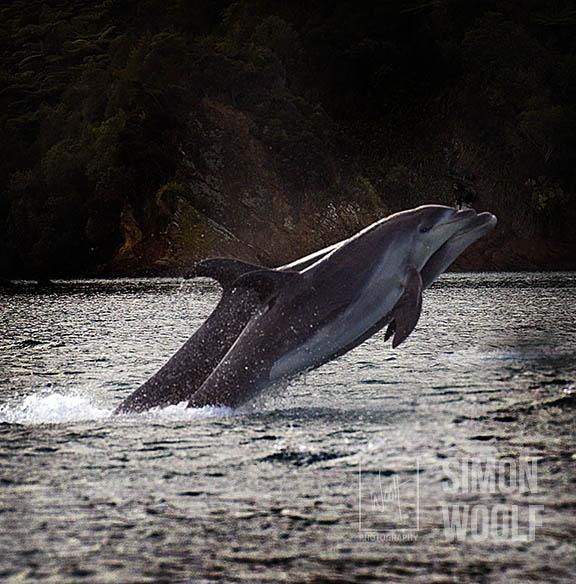 Dolphins Jumping1_PWB3362.jpg