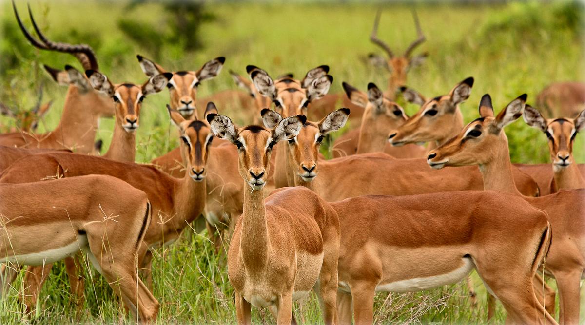 Impala-Stare.jpg