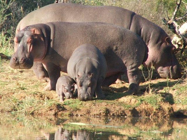 hippo-family.jpg