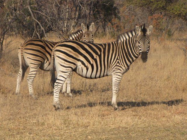 zebras-two.JPG