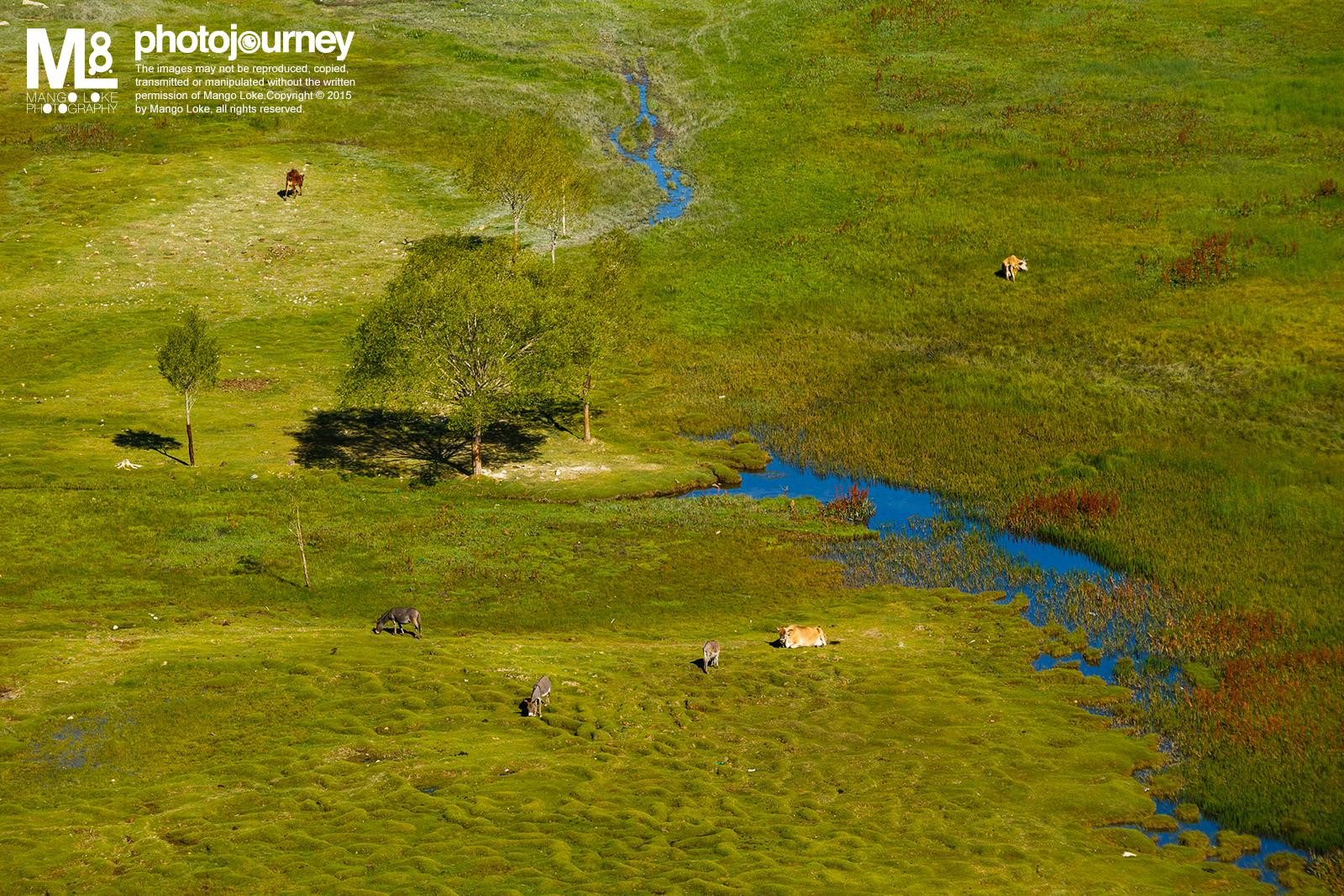 """自然与和谐.The Natural Harmony  印度. India.2013CANON1DX 70-200MM F2.8L 1/500 F8.0ISO320  在印度Leh郊外以南十五公里处有一寺庙Shey Monastry. 在寺庙正前方有一湖叫做圣鱼湖Holy Fish Pond. 此圣鱼湖非常小,""""圣 鱼""""不多,只有几条隐隐约约在湖里漫游,  小湖中竖立了一个残旧的名牌,湖边杂草丛生。 在平地看过去这只是一个平平无奇而且还有少许荒废的小湖  何以称为Holy Fish Pond?我真是不解. 然而,当我爬上了Shey Monastery最高处. 由高角度的方向望下, 平平无奇的Holy Fish Pond却让我看见了另一番面貌.  湖水的支流  反映着天空的  深蓝  ,犹如画笔画过哪  看似苲草丛生却  青绿  的草地  草地上有几只零散悠游放牧的黄牛与灰棕色的驴子 位置正好围着草地中的一棵大树,形成一个圈的形状 加上带着棕红的水草,红黄蓝青的主色都齐全了 多么自然和谐的一副画面啊:)  凡是都有两面,试着换个角度,看似荒废的可能也有其美丽的一面. 摄影如此,做人如此也."""