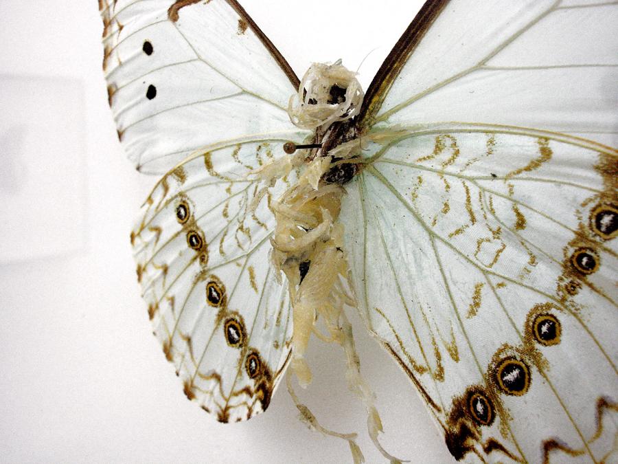 LIONEL SABATTE   Réparation de papillon 4 \ Repairing of butterfly 4, 2012. Papillon abîmé, ongles, peaux mortes, épingle et boîte à spécimen \ Damaged butterfly, nails, skin, spin and presentation box. 32 x 32 x 7 cm (Detail)