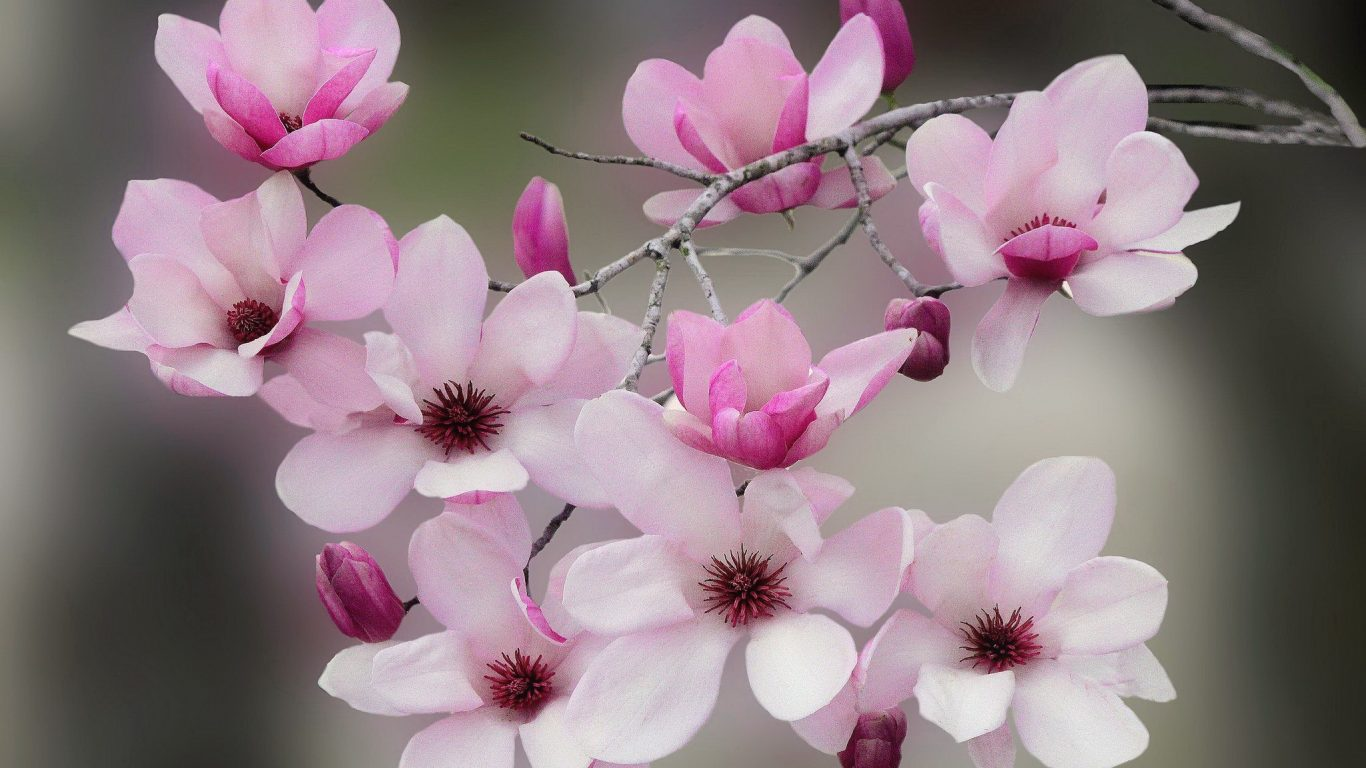 flower-flowering-scent-beautiful-spring-magnolia-blooming-blossoms-lovely-tree-branches-fragrance-hd-wallpapers-for-laptop-1366x768 (3).jpg