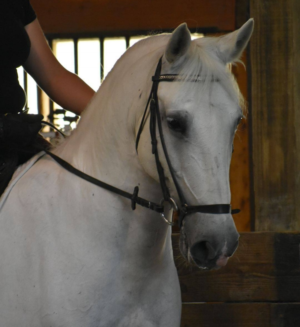 Rosalina - Rosie is a Lipizzan mare, who has served as an intermediate lesson horse for several years. She is a Ferrari type ride, and is good for helping a rider learn how to fine tune their seat and aids.