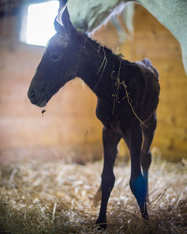 Welcome to the world, filly out of Alga-3 by Maestoso Marina. First filly for both mom and dad! #lipizzan #lipizzaner #lipizzanfoal #lipizzansofinstagram #lipizzanersofinstagram #lipizzanexperience 📸 @ponieswhee