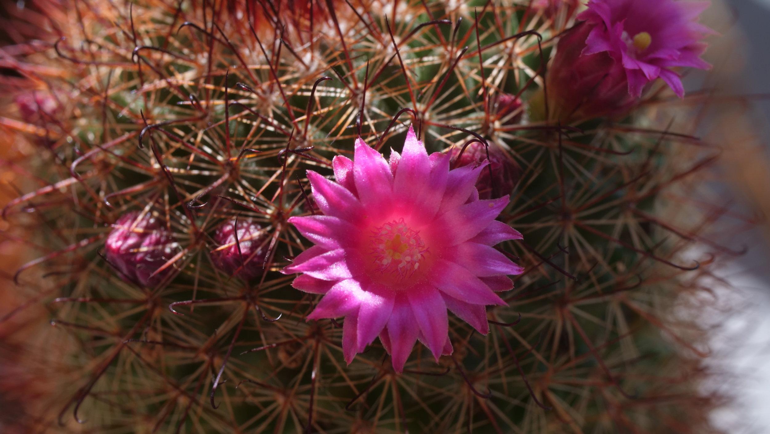Macro Cactus Flower