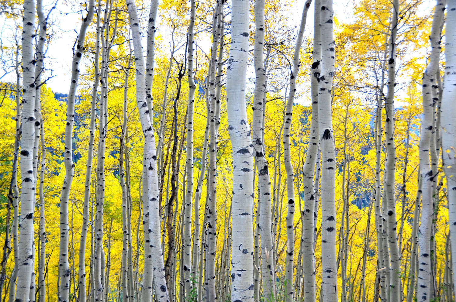 Aspens in the MHL Meadow