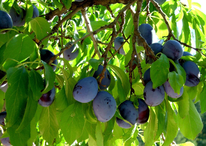 view plum tree-Edit.jpg