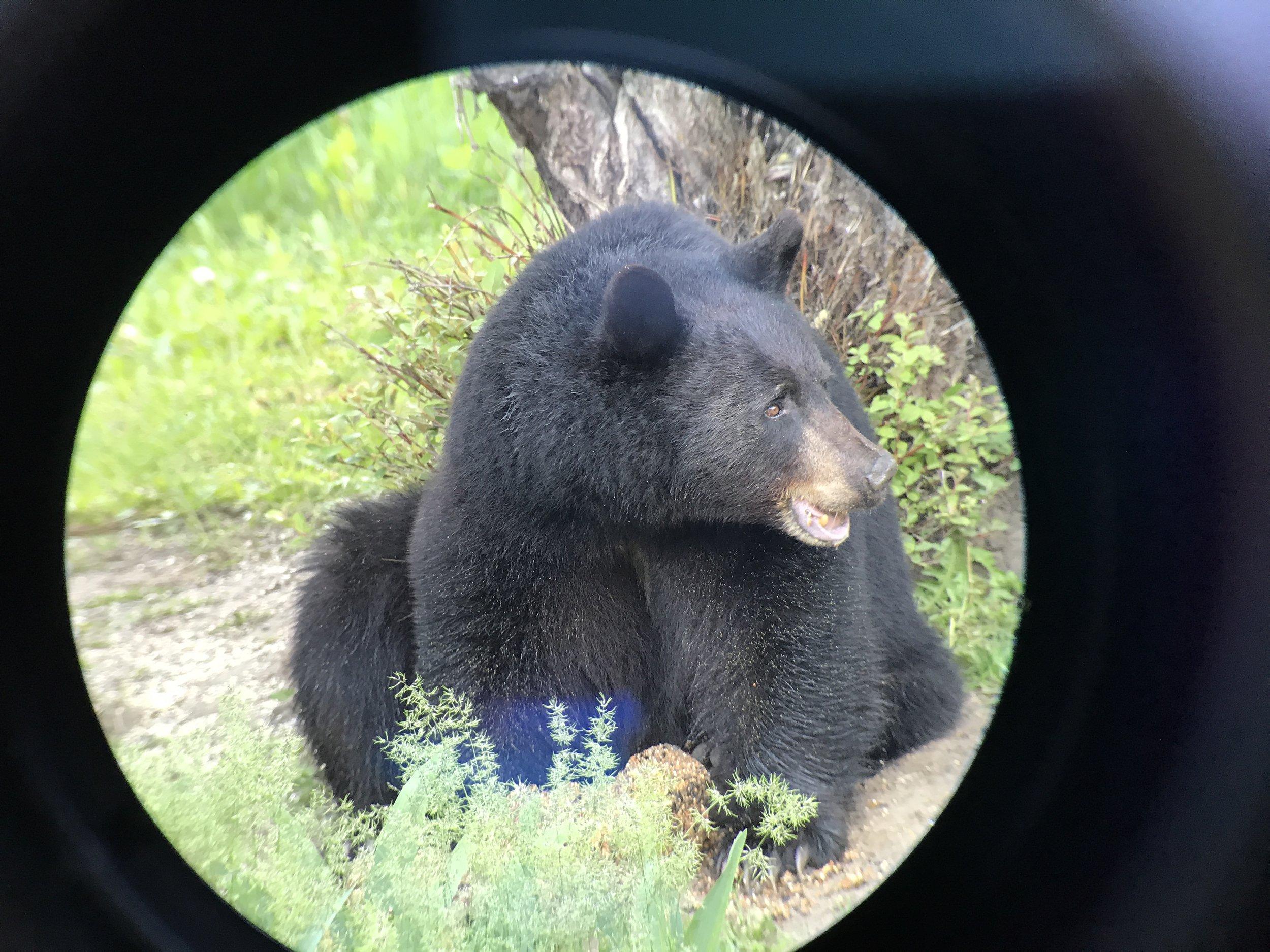 Bailey Bear!!