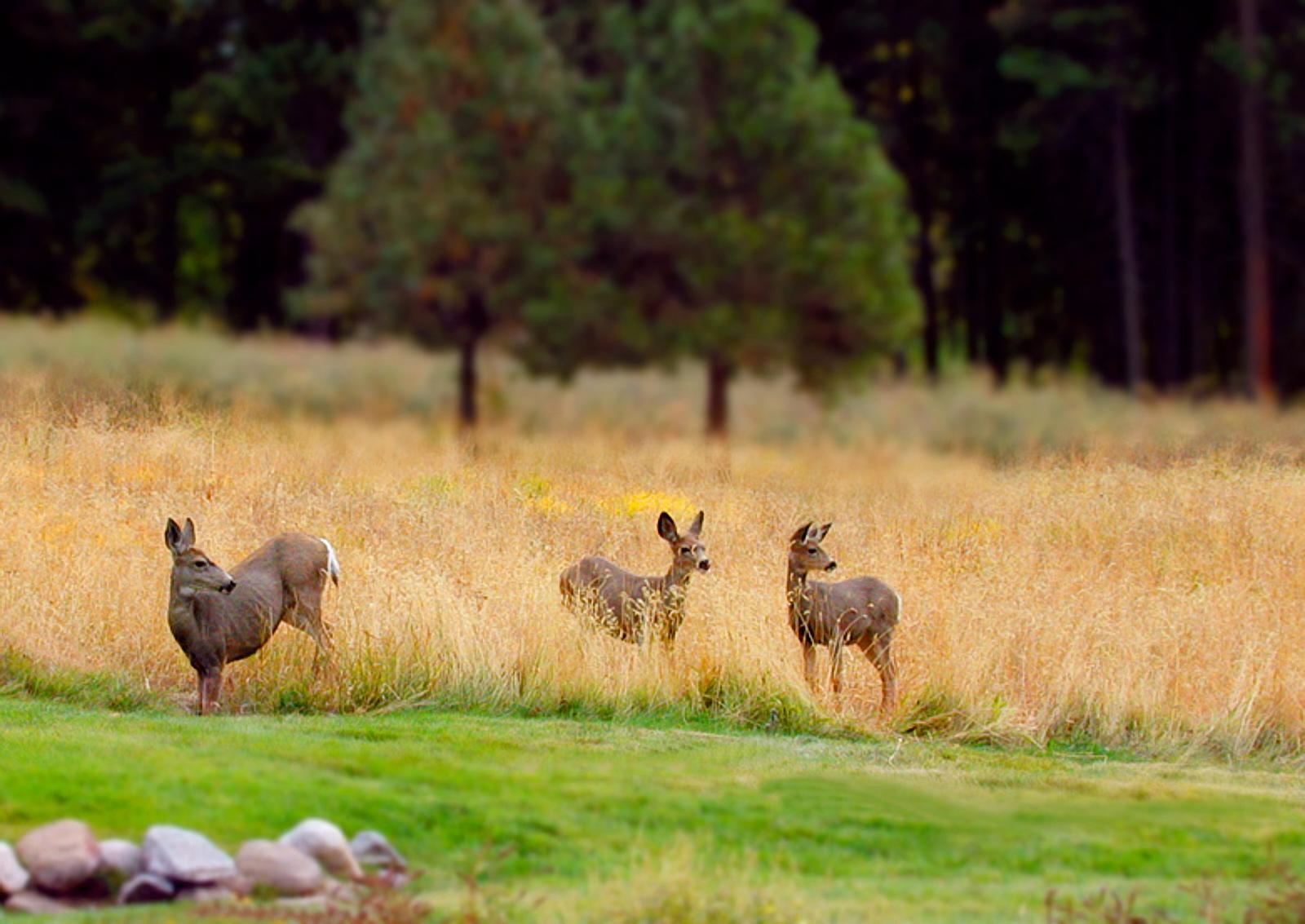 Deer_Fall_in_Meadow.jpg