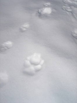 wolf track unmistakably larger than a coyote track