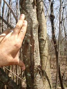 Look for deep scratches in trees, especially choke cherry trees
