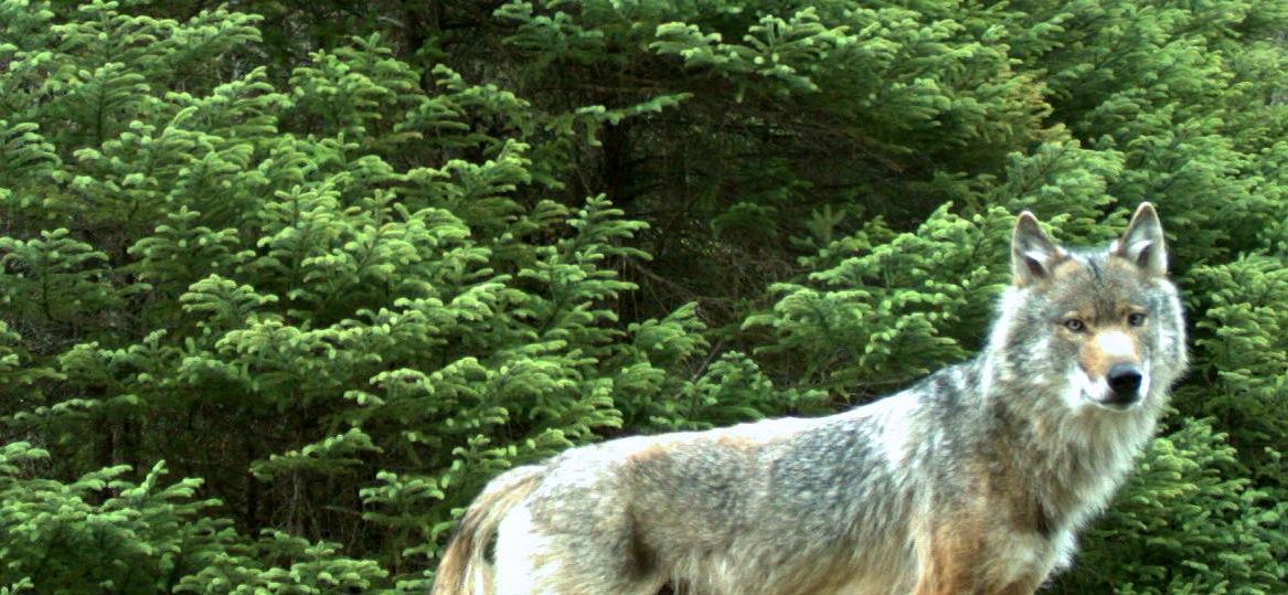 wolf look.jpg