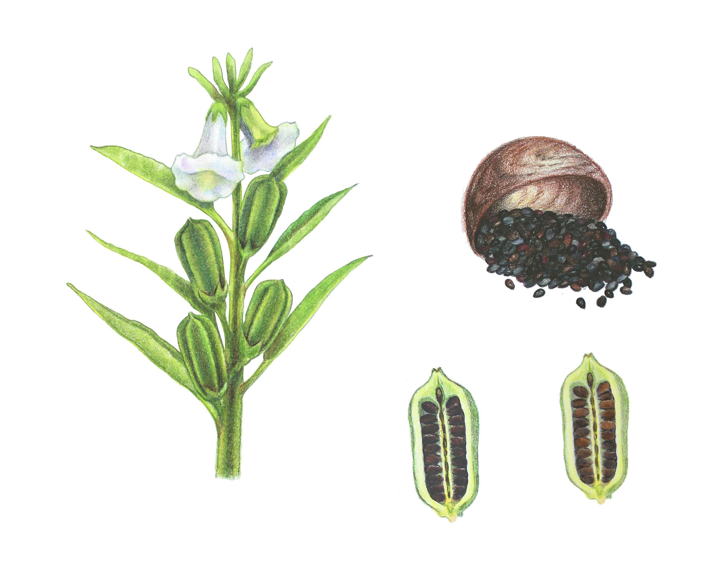 Botanical elements for Black Sesame