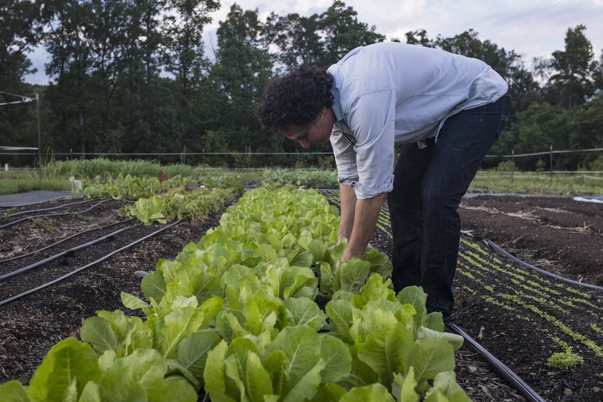 Roberto Copa Matos harvests lettuce from his farm, Terra Secca, in Hillsborough, NC. His goal is to grow the farm to the point where almost all of the food products he uses at his restaurant come from his farm.