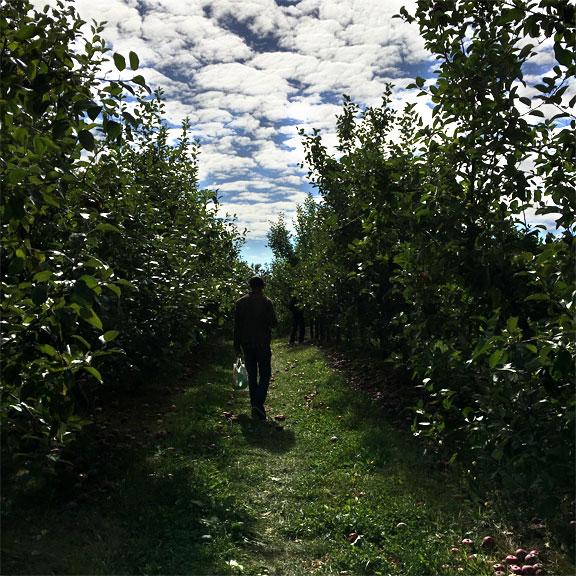 applepicking-cj.jpg