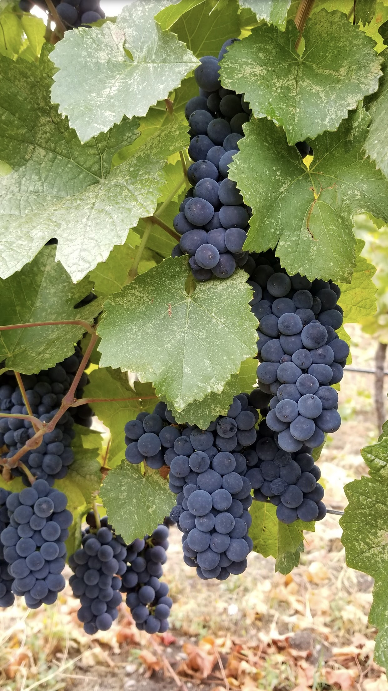 grape pic.jpg