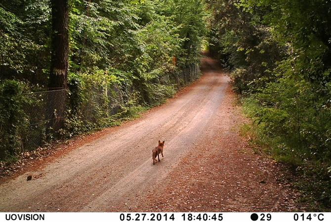 Barbialla-Nuova-fox