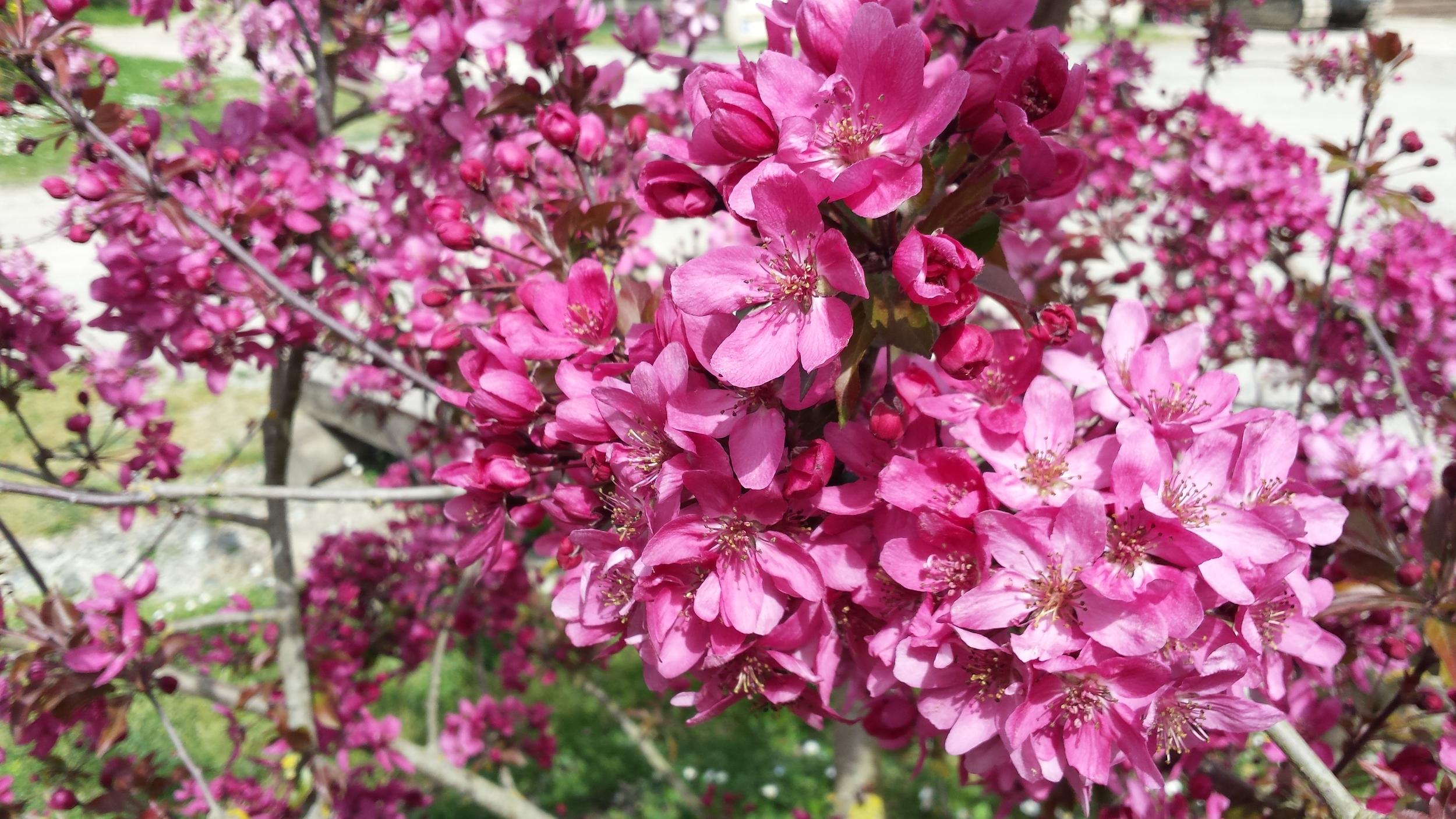 Pink crab apple flowers blooming in spring