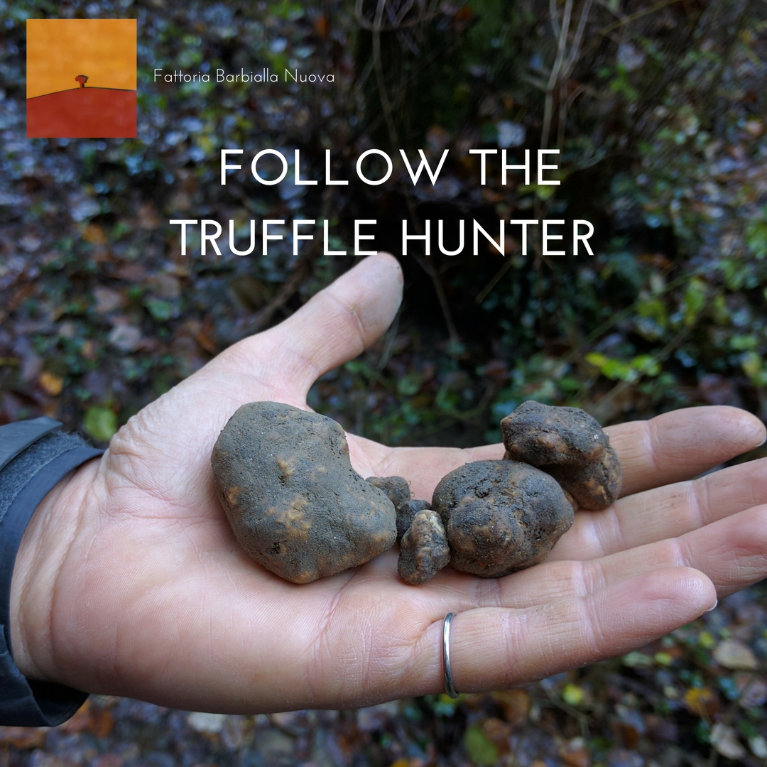 A hand holding white truffles just extracted from the dirt during a truffle hunt in Barbialla Nuova. White truffles of San Miniato.