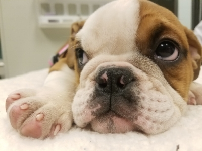 Did you know English Bulldogs commonly suffer from skin allergies?