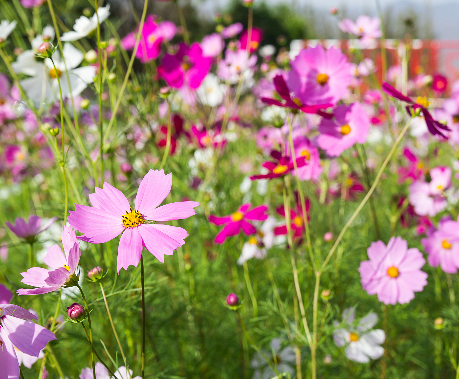 bigstock-Cosmos-Flower-In-The-Field-78197294.jpg