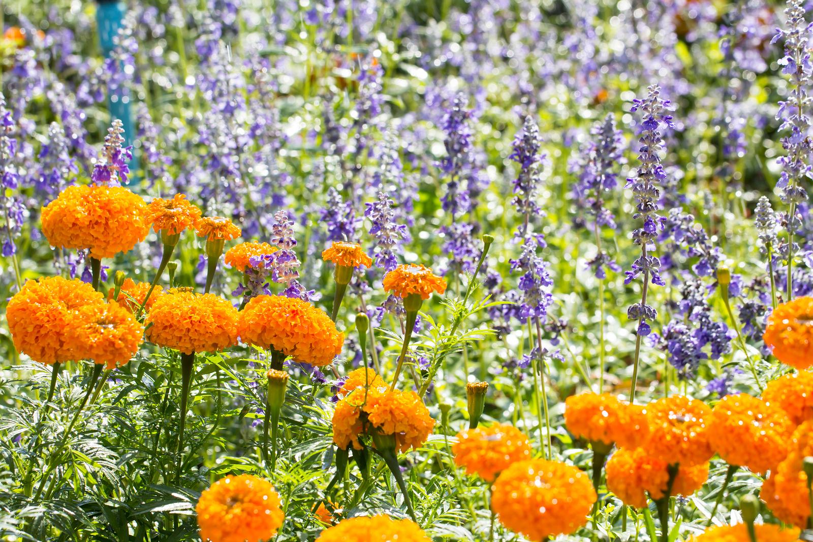 bigstock-Yellow-Marigolds-Flower-77053127.jpg