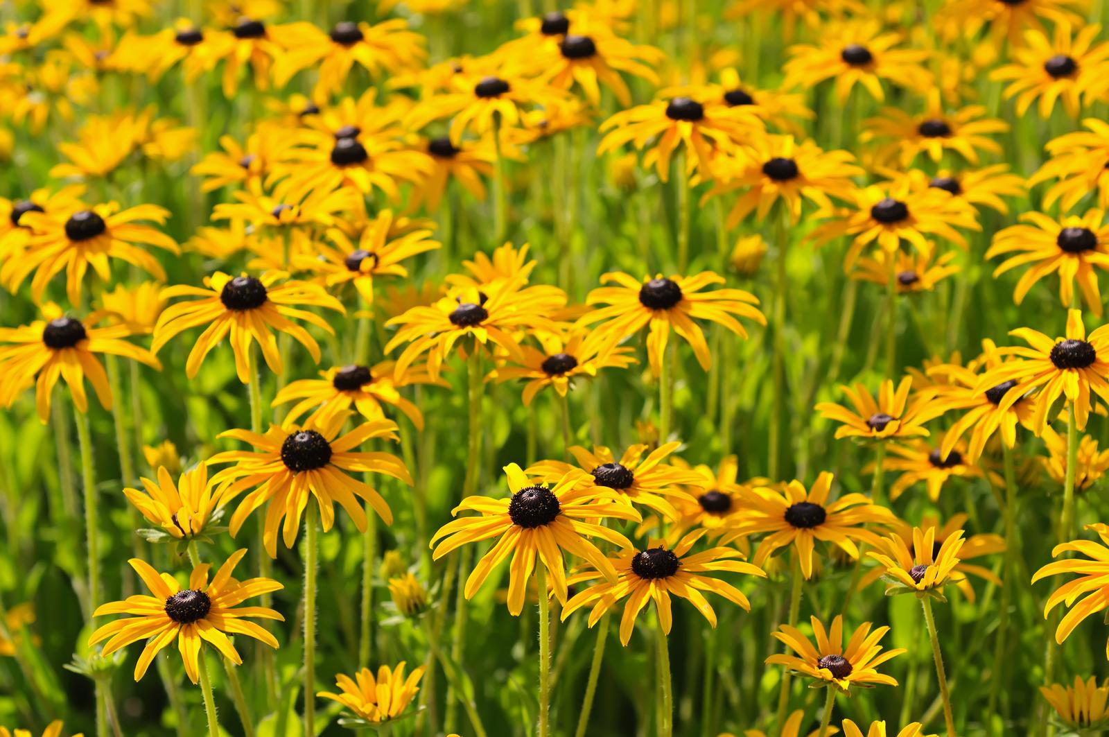 bigstock-Rudbekia-flowers-66159256.jpg
