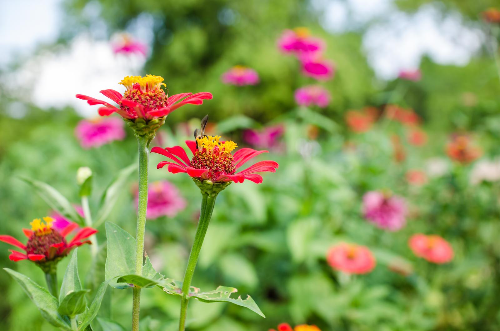 bigstock-Zinnia-Flower-66817108.jpg