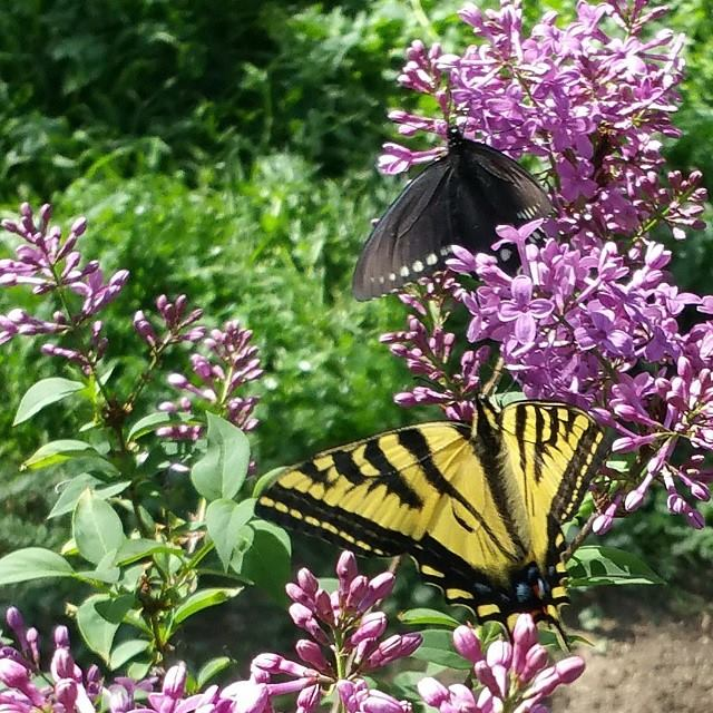 My lilacs bring all the butterflies to the yard....
