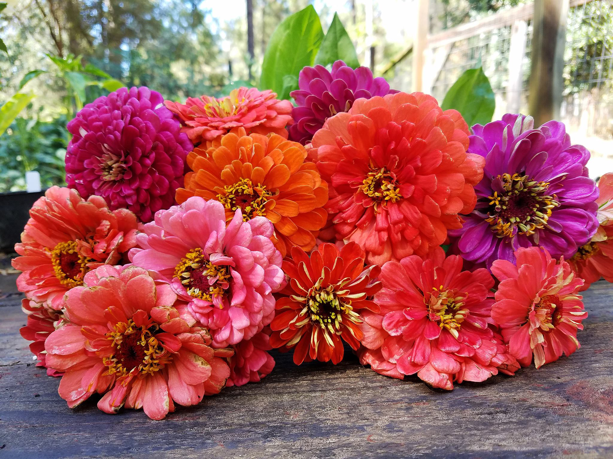 zinnias table me.jpg