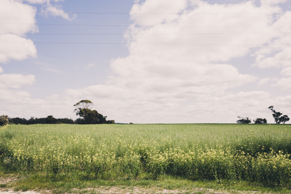 Endless Canola Fields On The Drive Down