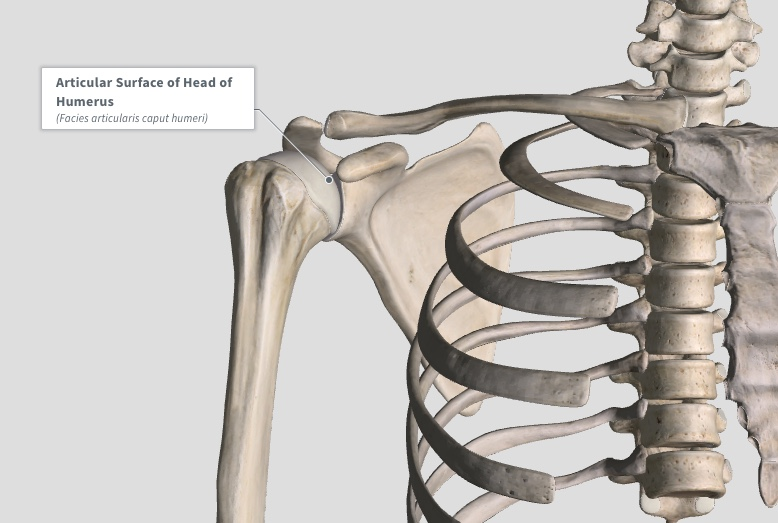 Shoulder joint involved in Adhesive Capsulitis or Frozen Shoulder