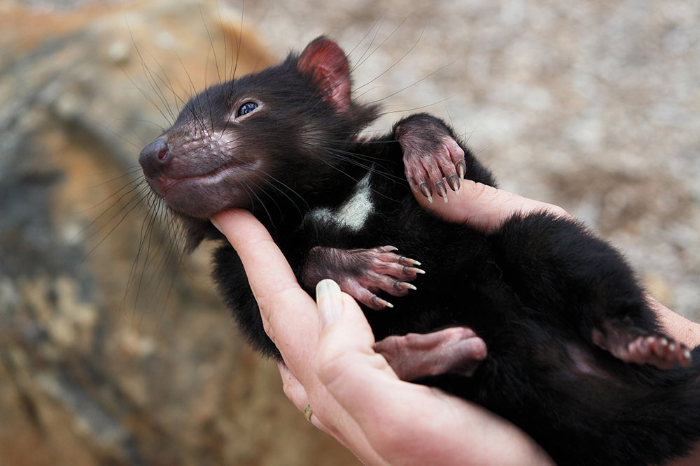 Tasmanian-devil2.jpg