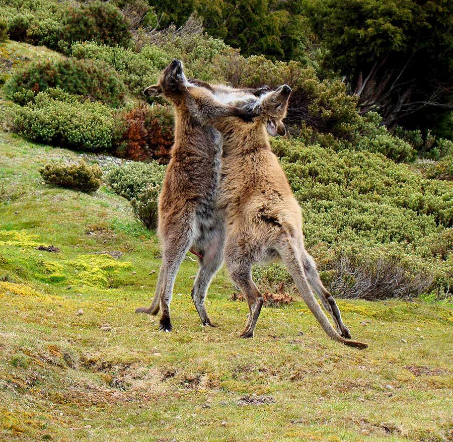 Wallaby-fighting-Tasmania.jpg