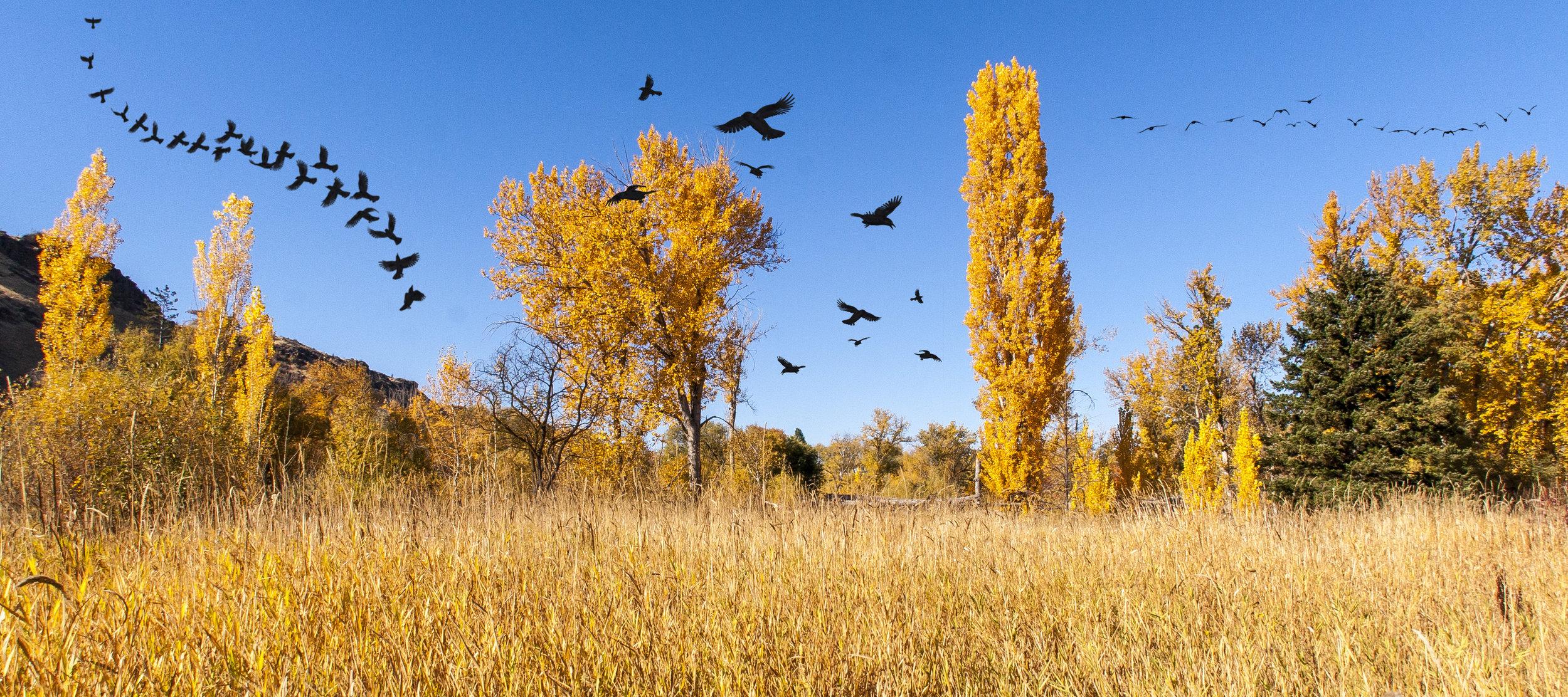 _MG_3149-Crows.jpg