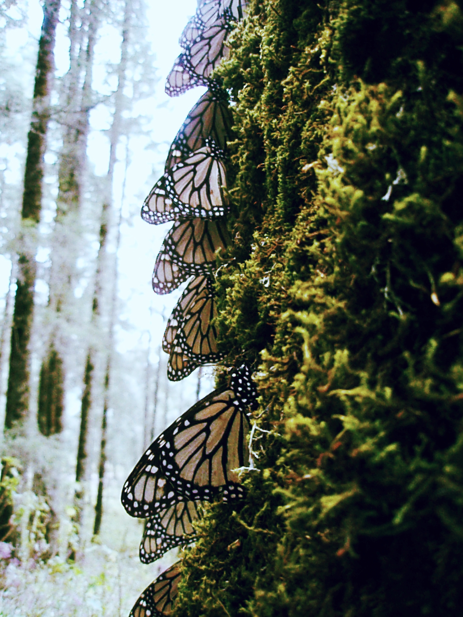 Monarch butterflies overwintering in Mexico