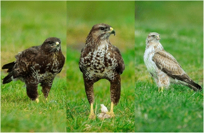 The-three-morphs-of-the-common-buzzard-The-dark-morph-left-has-dark-head-heavily_W640.jpg