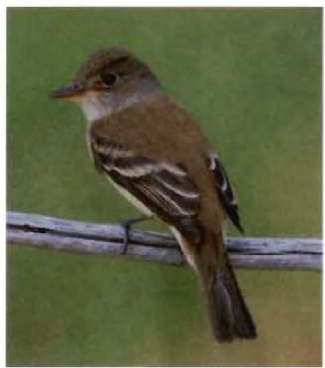 WISHTOYO IS FIGHTING TO PROTECT AND RESTORE THE ENDANGERED Southwestern Willow FLycatcher TO THE SANTA CLARA RIVER WATERSHED BY RESTORING RIVER RIVER FLOWS AND NATIVE RIPARIAN VEGETATION NEEDED FOR THE SPECIES THROUGH OUR SANTA CLARA RIVER IN-STREAM FLOW PUBLIC TRUST COMPLAINT BEFORE THE STATE WATER BOARD..