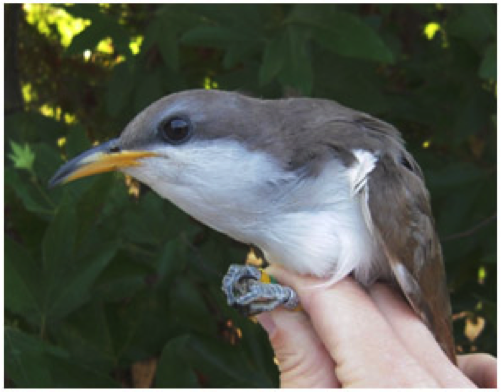 Wishtoyo is fighting to protect and restore The endangered Western Yellow Billed Cuckoo to the Santa Clara River Watershed by restoring River river flows and native riparian vegetation needed for the species through our Santa Clara River in-Stream Flow Public Trust Complaint before the State Water Board..