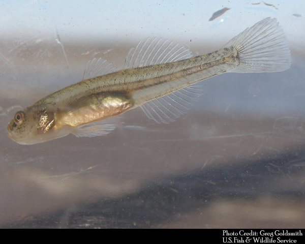 Tidewater Goby found in the Santa Clara River Estuary, Ormond Beach Lagoon, Mugu Lagoon and other tidal waters along California's CoasT. Wishtoyo's settlement agreement with the City of Ventura should help restore the estuary to a brackish environment suitable for the species and that is inhospitable to non-native invasive predators that thrive in Freshwater systems.