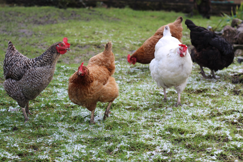 January-in-the-garden-Penarth-Cardiff-chickens-frost.jpg
