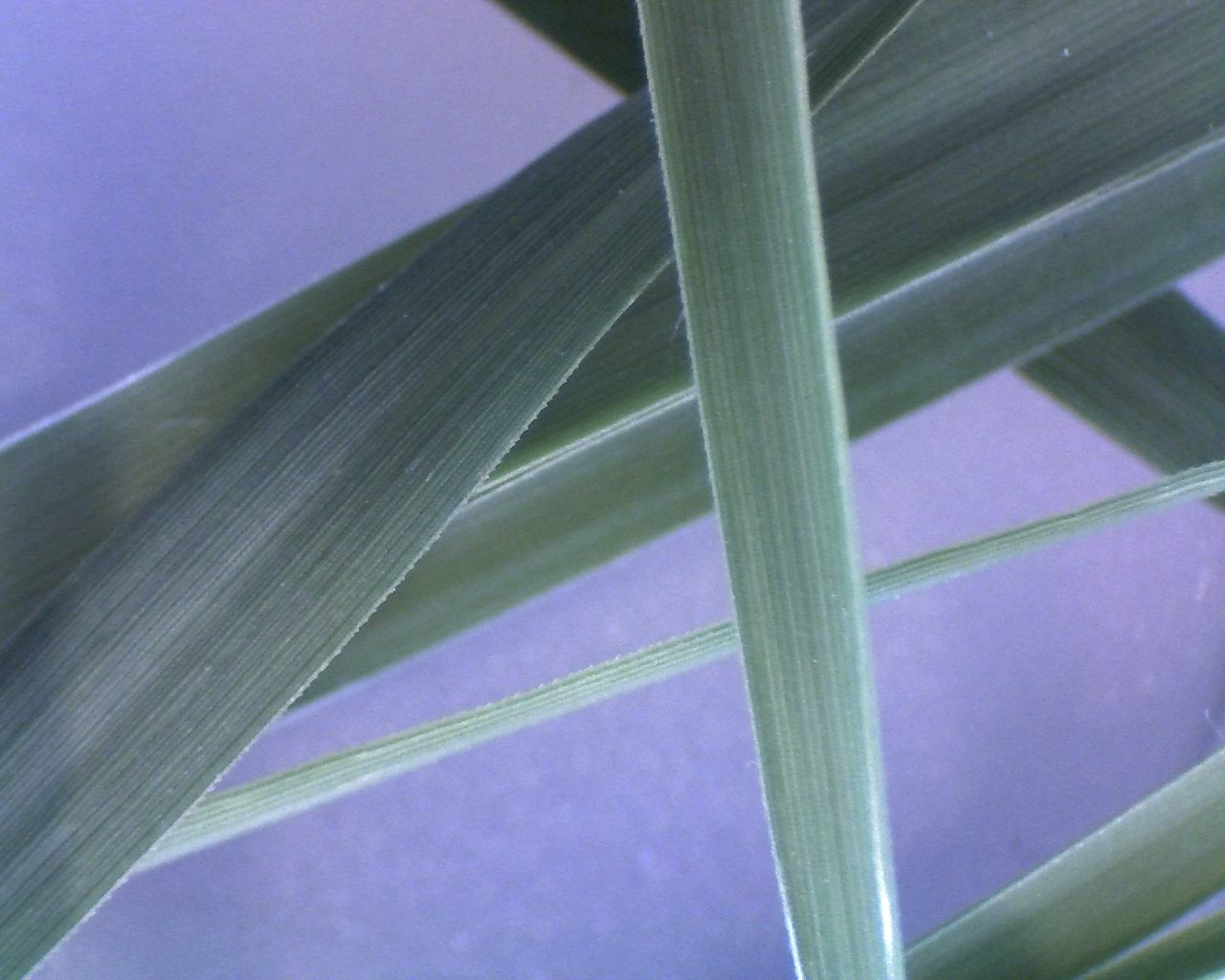 This photo shows a few leaves of grass at 10x magnification ...