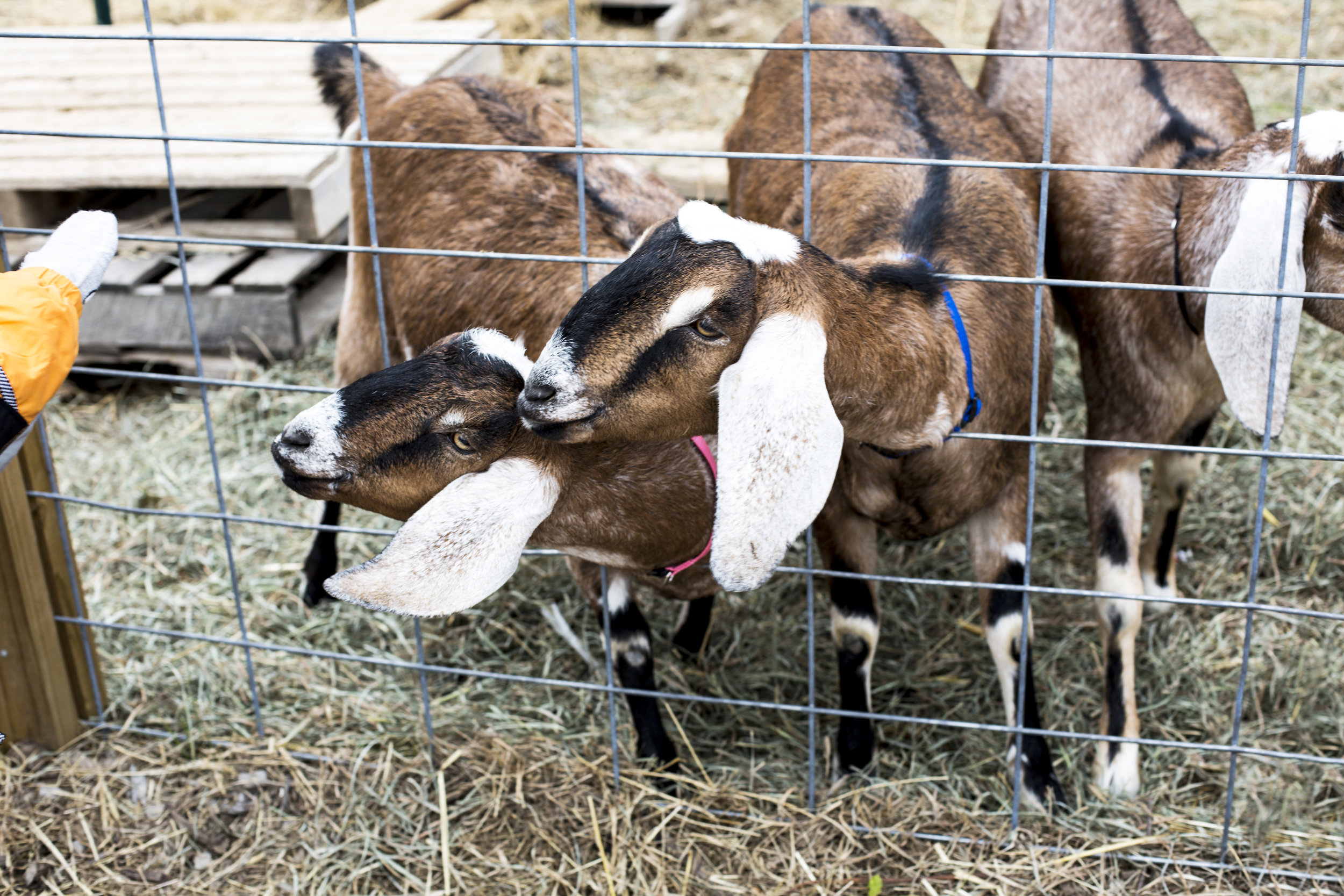 2017 11_NOV_Dreamgoats_77.jpg