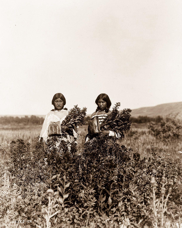 Piegan girls gather goldenrod , 1910.  ©EDWARD S. CURTIS/LIBRARY OF CONGRESS