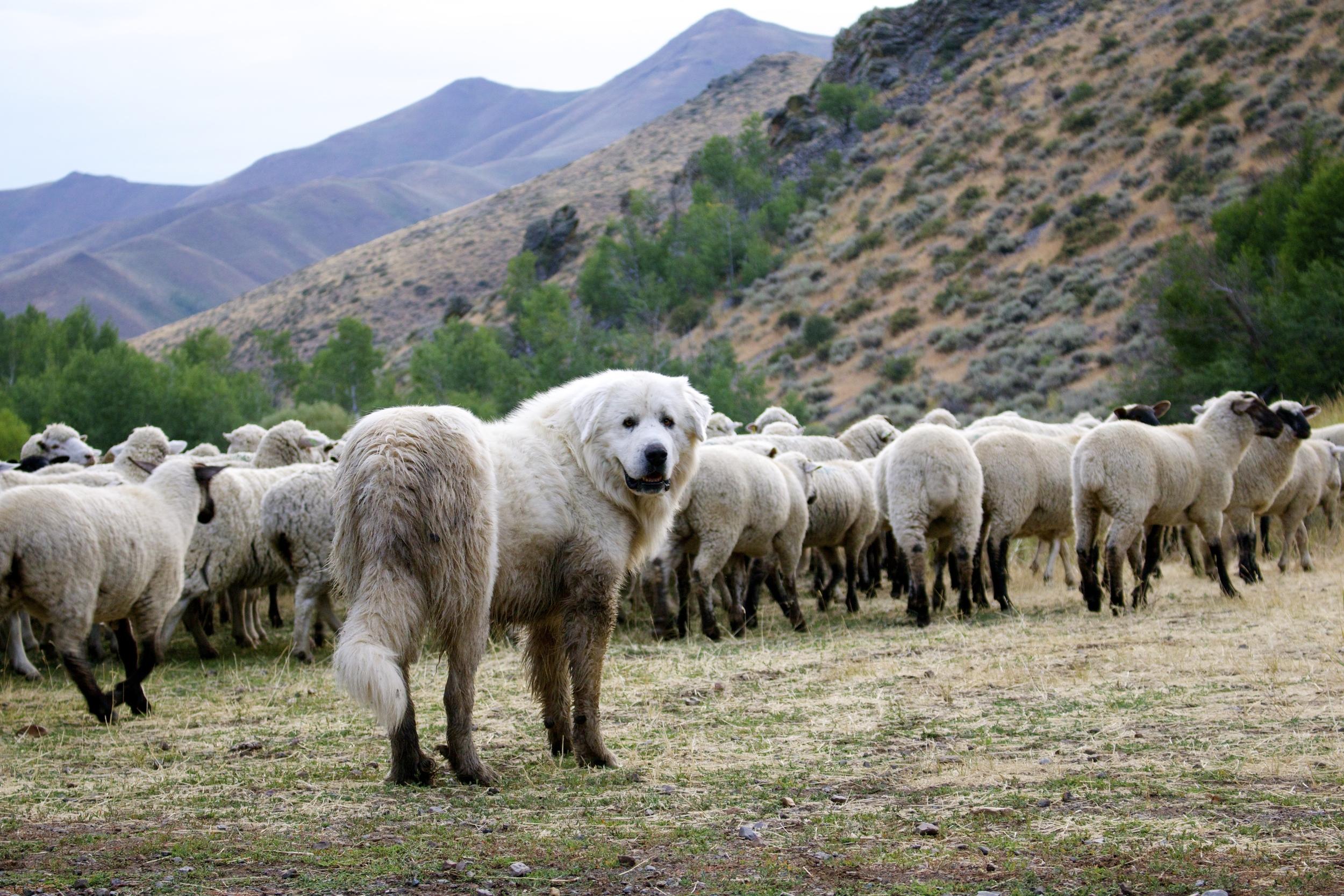 herd protector