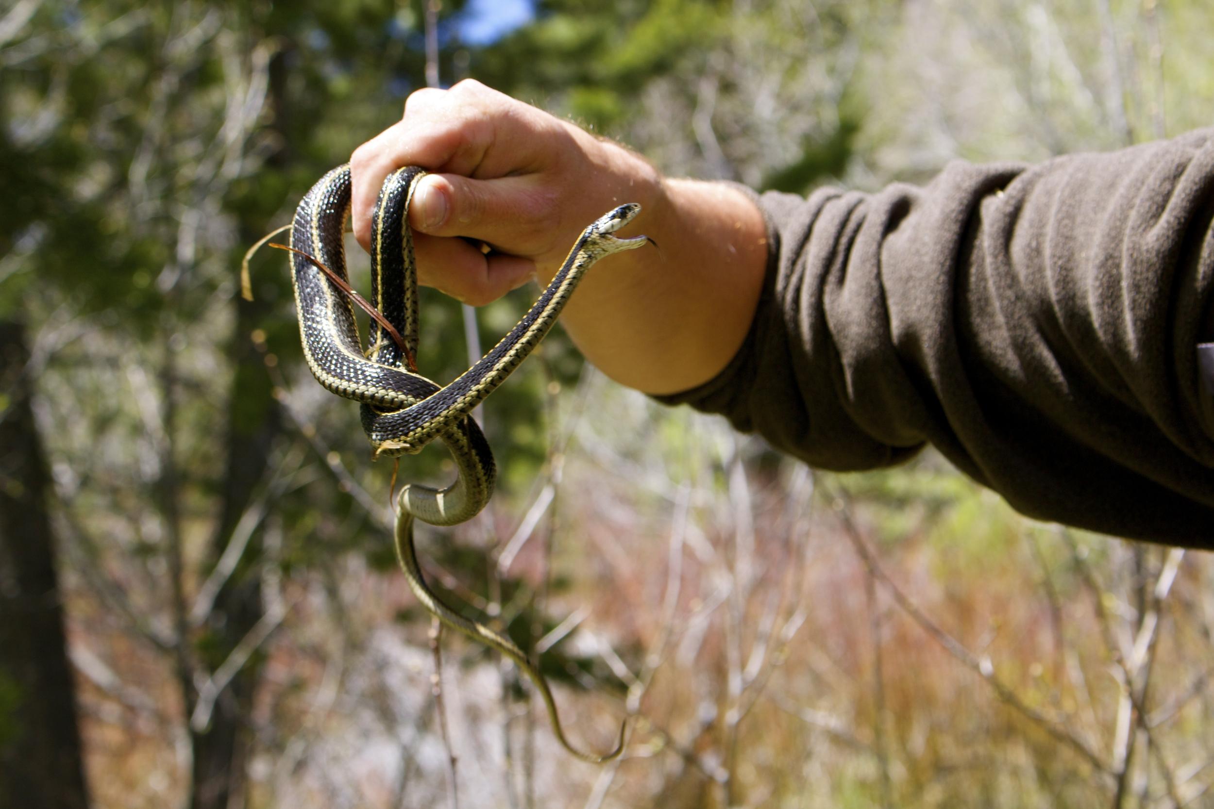 displeased garter snake